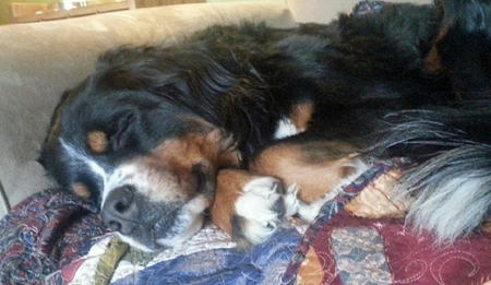 Moose the Bernese Mountain Dog Pictures 1000724