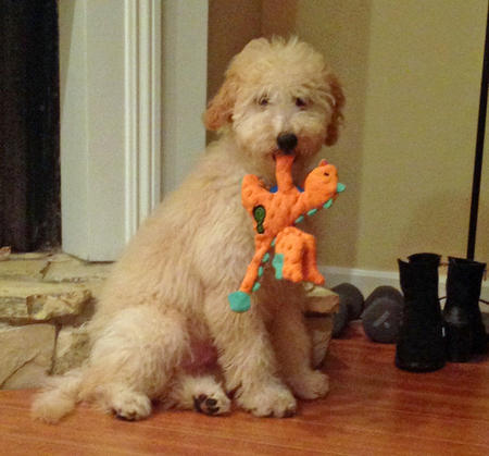 Moose the Goldendoodle Pictures 1034361