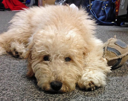 Moose the Goldendoodle Pictures 1034362