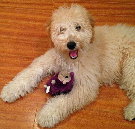 Moose the Goldendoodle Pictures 1034363