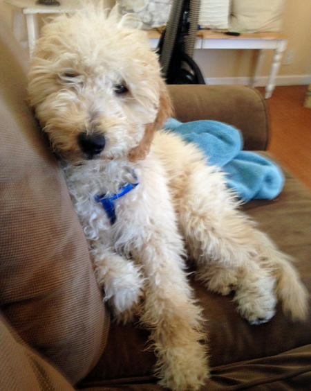 Moose the Goldendoodle Pictures 1034364