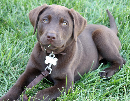 Moose the Labrador Retriever Pictures 893609