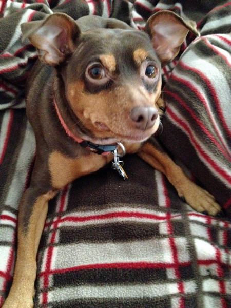 Moose the Miniature Pinscher  Pictures 964445