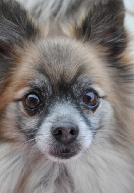 Moose the Pomeranian Pictures 496662