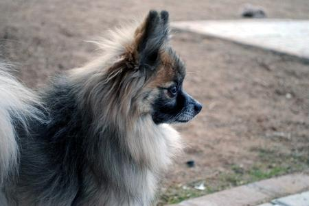 Moose the Pomeranian Pictures 496664