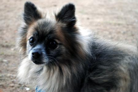 Moose the Pomeranian Pictures 496666