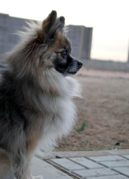 Moose the Pomeranian Pictures 496671