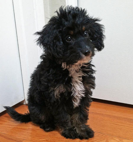 Moose the Poodle Mix Pictures 1007752