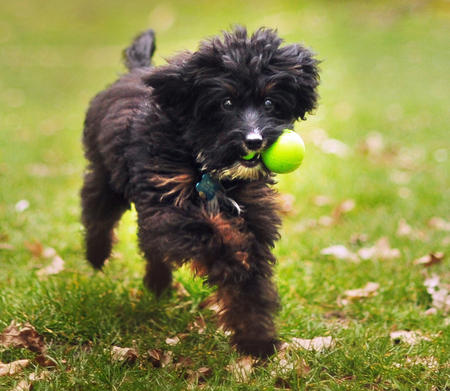 Moose the Poodle Mix Pictures 1007753