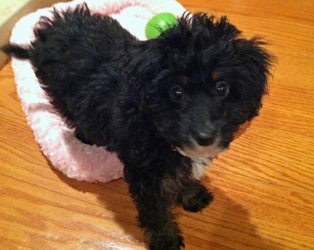 Moose the Poodle Mix Pictures 1007756