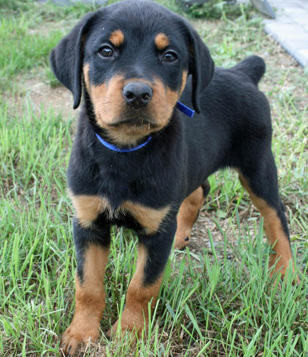 Moses the Rottweiler Pictures 768317