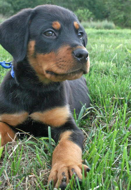 Moses the Rottweiler Pictures 768318