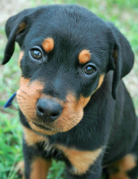 Moses the Rottweiler Pictures 768320