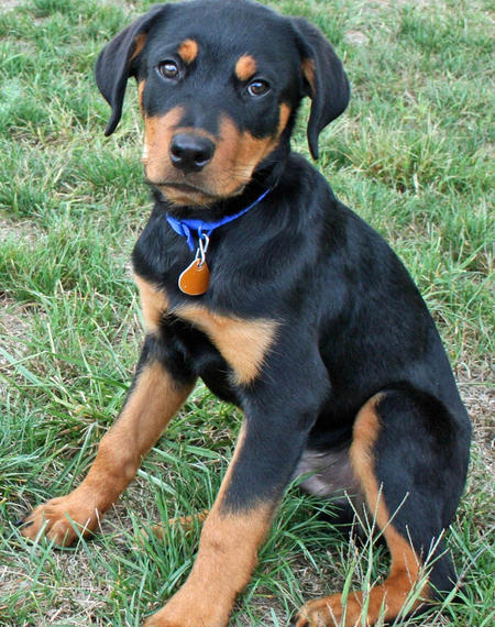 Moses the Rottweiler Pictures 768322