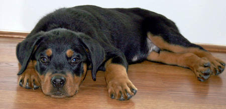 Moses the Rottweiler Pictures 768315