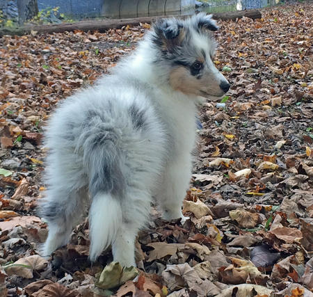 Moses the Shetland Sheepdog Pictures 1028276