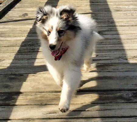 Moses the Shetland Sheepdog Pictures 1028279