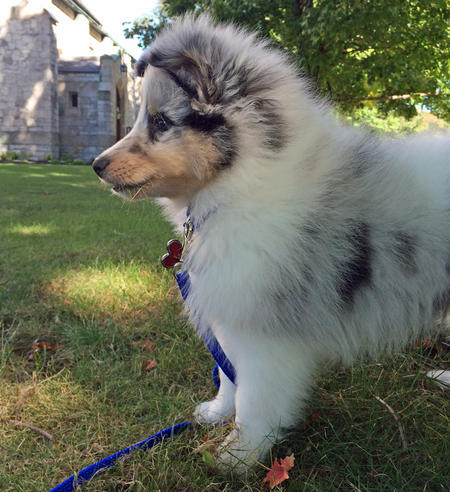 Moses the Shetland Sheepdog Pictures 1028280