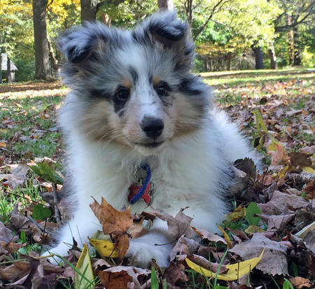 Moses the Shetland Sheepdog Pictures 1028282