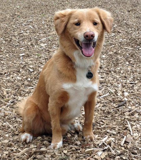 Mowgli the Nova Scotia Duck Tolling Retriever  Pictures 991087