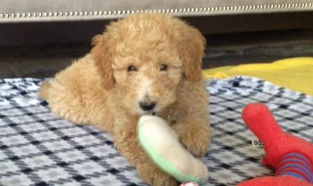 Mozzy the Goldendoodle Pictures 934403