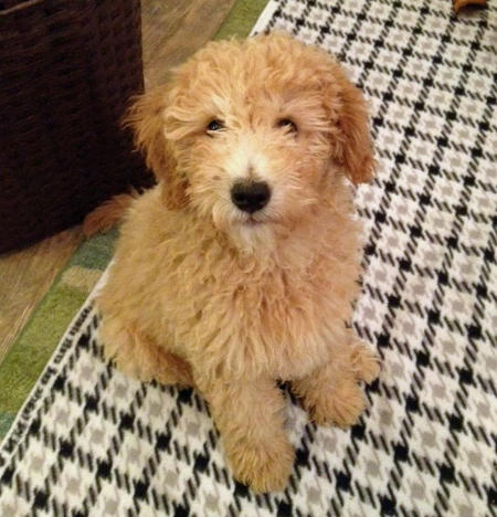 Mozzy the Goldendoodle Pictures 934404