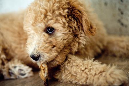 Mozzy the Goldendoodle Pictures 934405