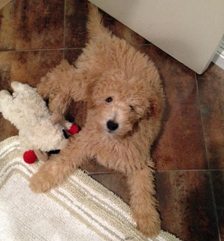 Mozzy the Goldendoodle Pictures 934408