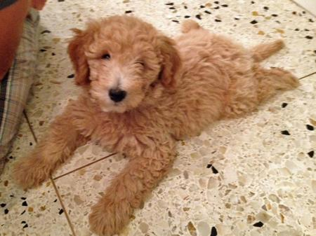 Mozzy the Goldendoodle Pictures 934402