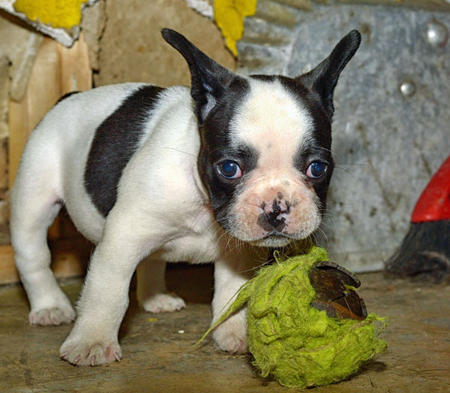 Mr Bacon the French Bulldog Pictures 971583