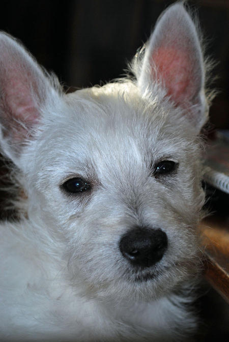 Muggsey the West Highland Terrier Pictures 538811