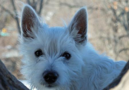 Muggsey the West Highland Terrier Pictures 538810