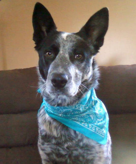 Murphy the Australian Cattle Dog Pictures 919605