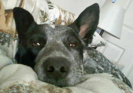 Murphy the Australian Cattle Dog Pictures 919602