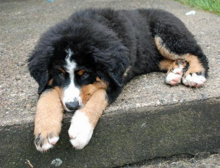 Murphy the Bernese Mountain Dog Pictures 671901