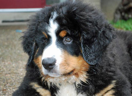Murphy the Bernese Mountain Dog Pictures 671902