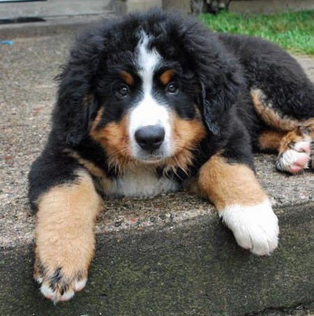 Murphy the Bernese Mountain Dog Pictures 671903