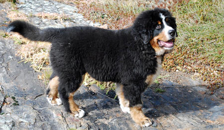 Murphy the Bernese Mountain Dog Pictures 671905