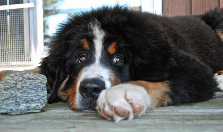 Murphy the Bernese Mountain Dog Pictures 671906