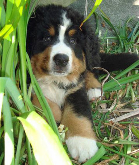 Murphy the Bernese Mountain Dog Pictures 671900