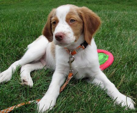 Murphy the Brittany Pictures 432902