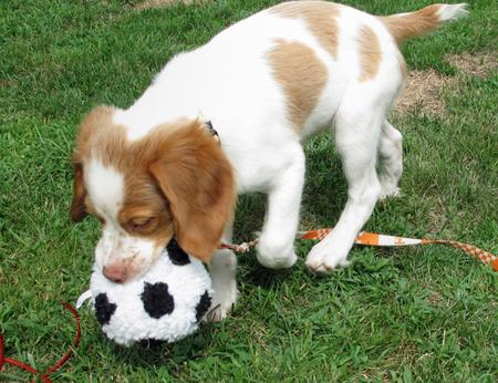 Murphy the Brittany Pictures 432905