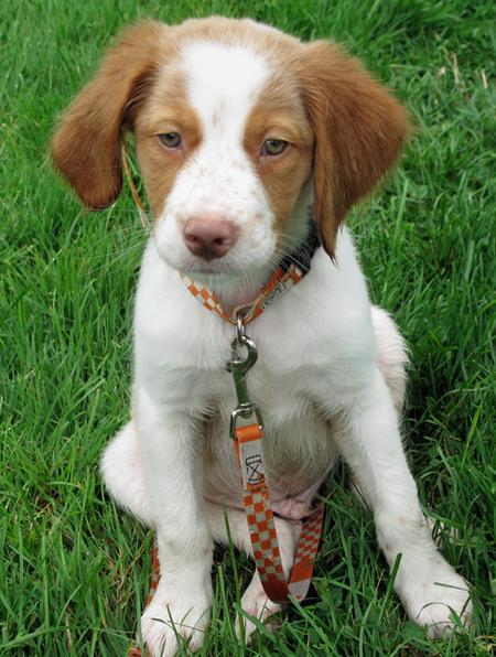 Murphy the Brittany Pictures 432906