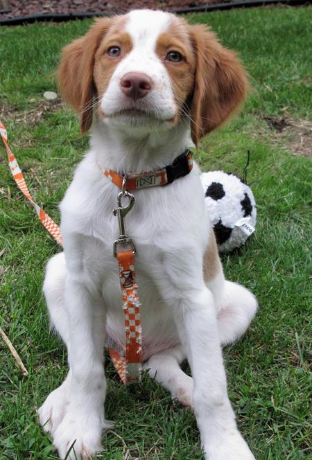 Murphy the Brittany Pictures 432907