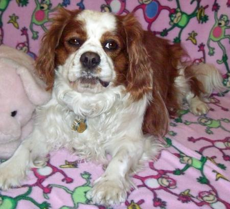 Murphy the Cavalier King Charles Spaniel Pictures 876936