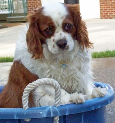 Murphy the Cavalier King Charles Spaniel Pictures 876934