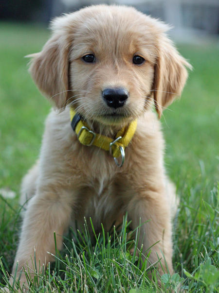 Murphy the Golden Retriever Puppies Daily Puppy