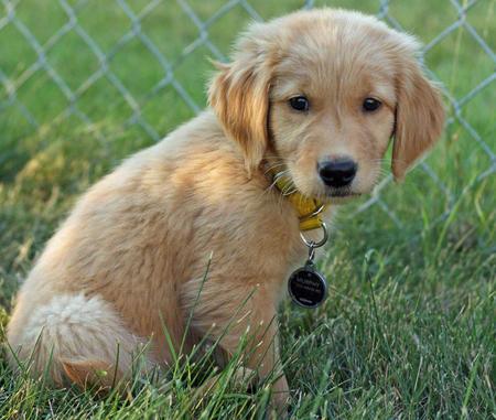 Murphy the Golden Retriever Pictures 453293
