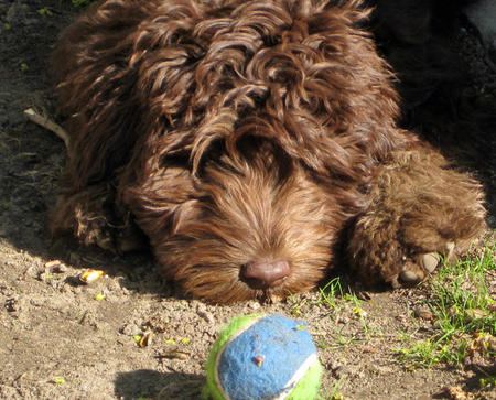 Murphy the Labradoodle Pictures 993385