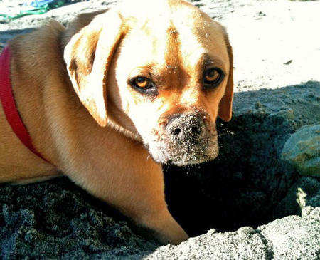Murphy the Puggle Pictures 856511